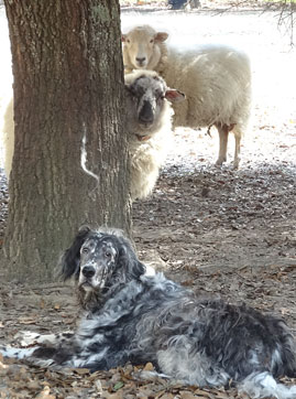 2 sheep and a dog